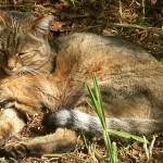 Африканская степная кошка