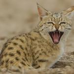 Азиатская пустынная кошка