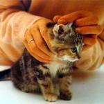 Осмотрите уши котенка
