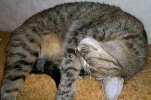 Кошка может спать в любой позе