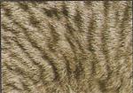Британская черепаховая пятнистая