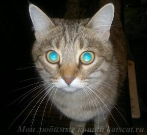 Роскошные усы - вибриссы, один из осязательных органов кошки