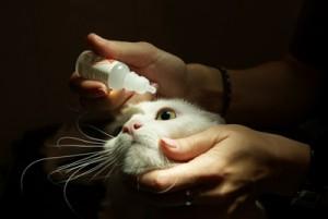 Как закапать капли в глаз кошке