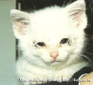 Мордочка котенка, заболевшего кошачьим гриппом
