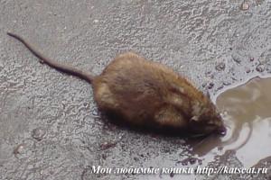 Крыса в городе