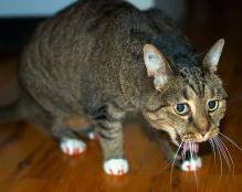 Рвота у кошки может быть симптомом серьезного заболевания