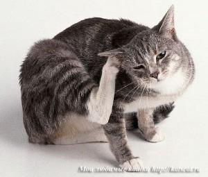 Обратите внимание, если кошка сильно чешет уши