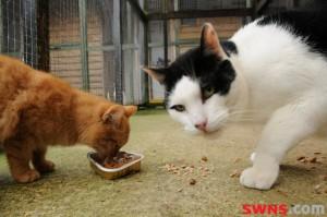 Кот Иуда (Judas) - самый большой кот Британии